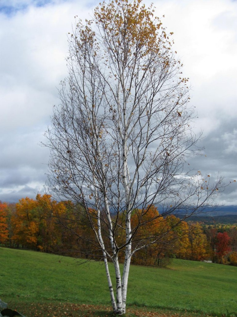 Birch by Susan Forshey