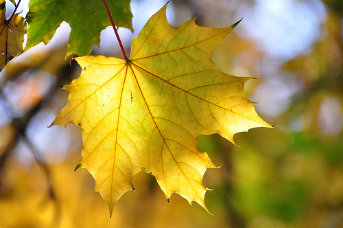 Sun Leaf