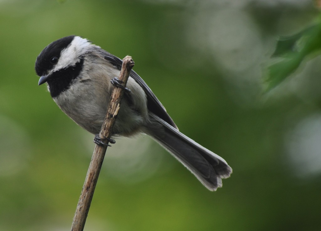 Black-capped Chickadee at my kitchen window.