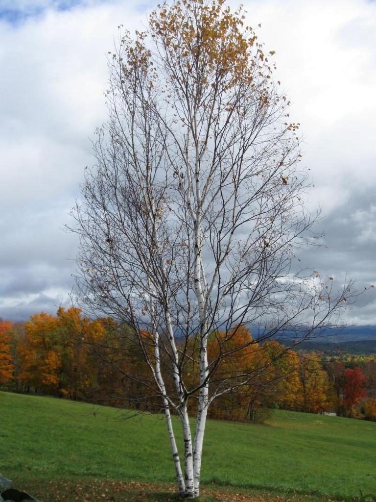 Birch by Susan Forshey