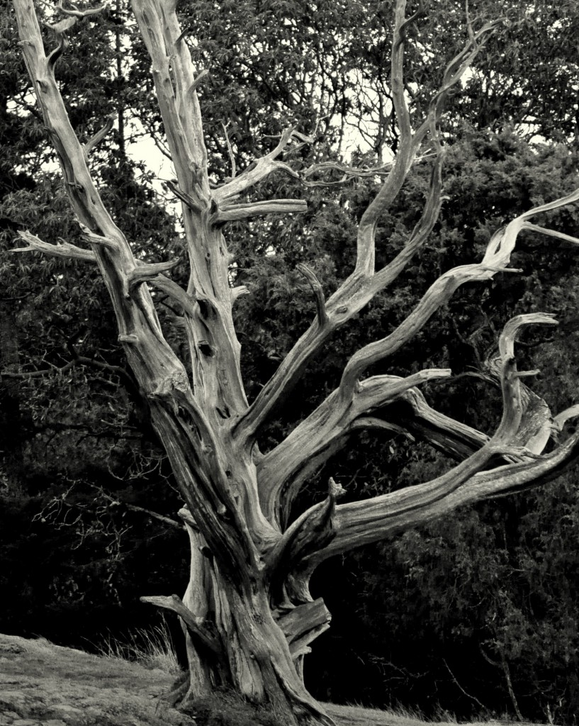 Lent 1--Withered Tree
